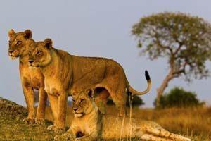 Safari - Löwen im Arusha Nationalpark