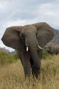 Elefant in Tansania