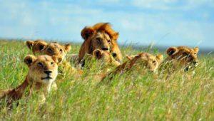 Safari: Löwenfamilie