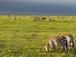 Tierherde im Ngorongoro-Krater