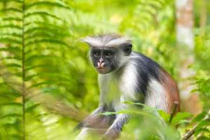 Affe im Jozani Forest auf Sansibar