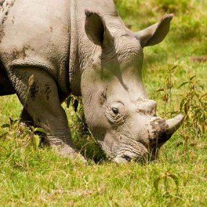 Auch in der serengeti selten - ein Nashorn