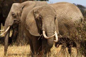 Typisch - Elefenaten im Tarangire Nationalpark