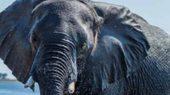 Elefant: Dickhäuter in Afrika