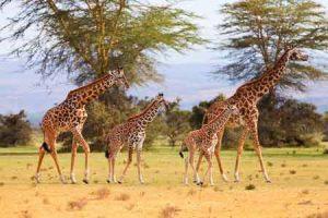 Giraffen sind die höchsten Säuger der Erde
