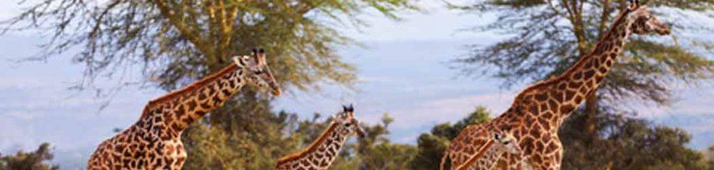 Tiere: Giraffen in Afrika