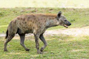 Hyänen sind wichtige Tiere für Afrika