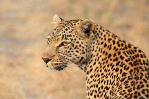 Leopard - Raubkatze in Afrika