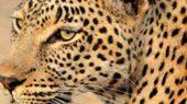Leopard in Afrika