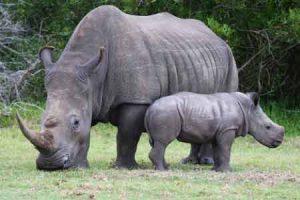 Das Nashorn in Afrika ist bedroht