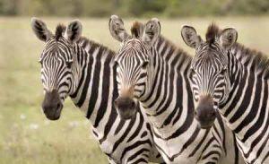 Zebras sind Herdentiere in Afrika