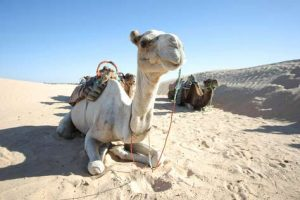 Kamelritt in Tunesien