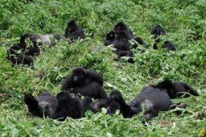 Familie von Berggorillas in Uganda