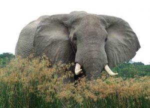Uganda: Ein Elefant stößt durch das Grün