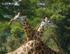 Die seltene Rothschild-Giraffe heißt auch Uganda-Giraffe