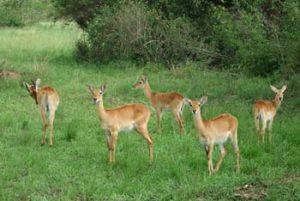 Die Uganda-Kob ist eine der heimischen Antilopenarten
