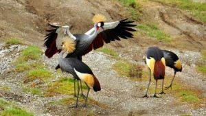 In der Region um den Viktoriasee leben viele Kronenkraniche